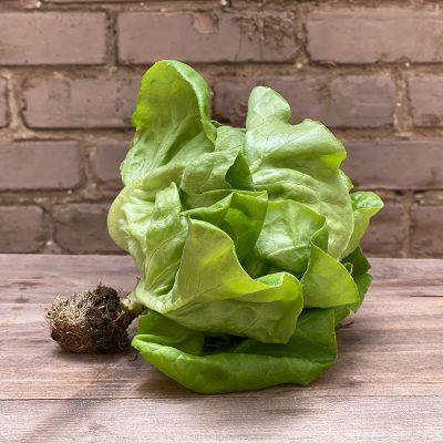 Hydro Bibb Lettuce